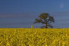 RAPE FIELD FAREHAM (mark_rutley) Tags: moon clouds farm hampshire fields singletree lonetree lonelytree fareham rapeseed thelonetree