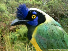 Green Jay, Cyanocorax yncas, Banding monitoring in eastern andes, Project Cerulean warbler and Canada Warbler (OSWALDO CORTES -Bogota Birding and Birdwatching Co) Tags: greenjay cyanocoraxyncas bandingmonitoringineasternandes projectceruleanwarblerandcanadawarbler