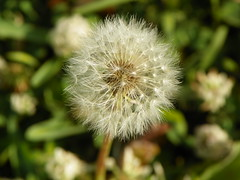 5-1-14 001 (LeeLee's pictures) Tags: 5114 mississippiriver woods nature dandelions yellow flower wildflower weeds makeawish white flyaway