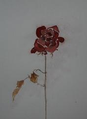"Lone rose <a style=""margin-left:10px; font-size:0.8em;"" href=""https://www.flickr.com/photos/66157425@N08/14115138094/"" target=""_blank"">@flickr</a>"