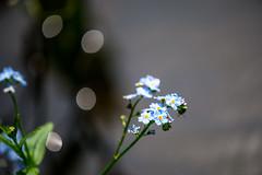 DSC_8752 (Darjeeling_Days) Tags: macro d800 勿忘草 東高根森林公園 180㎜