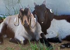 Colorful Kikos (baalands) Tags: test performance maryland goat meat pasture western kiko bucks