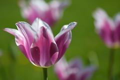 Tulpe (deta k) Tags: flowers macro berlin germany deutschland spring flora tulips natur pflanzen blumen frhling tulpen blten sooc nikond7100