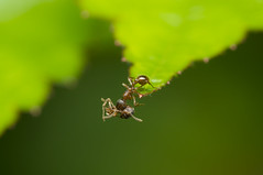Taking out the trash (mattd85) Tags: macro nature garden dead wildlife ant behaviour