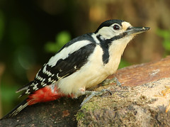 mrs woody (explored) (Dawn Porter) Tags: bird woodpecker somerset greaterspottedwoodpecker