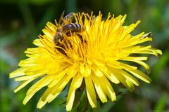 Bie hard at work (Jostein Nilsen Photography) Tags: flower norway canon europe pollen scandinavia sandisk 2014 bie canoneos5dmarkii 5d2 5dmk2 canon5dmarkii josteinnilsen lensblr photographersontumblr josteinsen