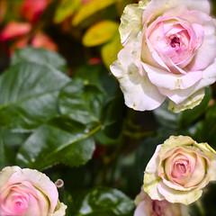 咲かせましょう。思いのままに、奔放に両手を伸ばすように、あなたの花を。 (aozora.umikaze) Tags: japan hana nara aozora anata omoinomama sakaseru