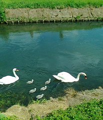 A family of swans on the little river outside of the Fromebridge Mill pub-restaurant (southglosguytwo) Tags: water river swans cygnets cameraphoneshot 2014 fromebridgemill