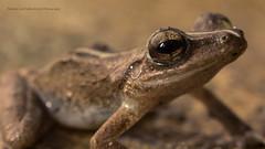 Eleutherodactylus Coqui Puerto Rico (Roberto Lee Cortes) Tags: macro nature puerto close wildlife sony rico sapo coqui