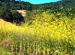 Rancho San Antonio (aaron_j_o) Tags: out hiking sunny trail mustard ourdoors ranchosanantonio