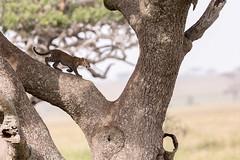 Tiny Leopard on huge tree (Thomas Retterath) Tags: africa tree nature animals canon tanzania cub tiere wildlife urlaub natur adventure safari leopard afrika serengeti predator mammals baum allrightsreserved carnivore bigfive tansania felidae pantherapardus säugetier seronera abenteuer 600mm raubtiere 2013 20tc thomasretterath canoneos5dmarkiii canonef300lis28usm copyrightthomasretterath