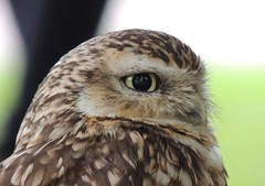 york birds eyes yorkshire owls