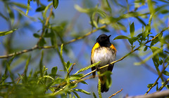 American Redstart (sarasonntag) Tags: road male wisconsin spring american marsh migration dike warbler horicon redstart 2014
