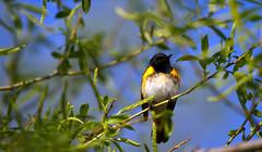 American Redstart (sarasonntag) Tags: road male wisconsin spring american marsh migration dike warbler horicon redstart 2014