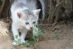 White domestic cat (vargabandi) Tags: portrait pet baby white cute beautiful face childhood animal closeup cat fur relax fun mammal one puppies kitten funny pretty little outdoor tabby small pussy young adorable domestic kitties beast cavalier paws lying