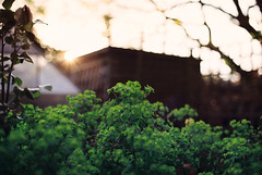 Canon T90 - 35mm Negative SLR (Dan Fegent) Tags: camera plants plant colour green slr film 35mm garden awesome oldschool historic retro iso negative 100 processed developed filmgrain canont90 fdlens filmisnotdead 35mmnegativefilm canonfdlens fdlenses 28mmf20fd