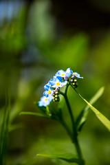 DSC_8773 (Darjeeling_Days) Tags: macro d800 勿忘草 東高根森林公園 180㎜