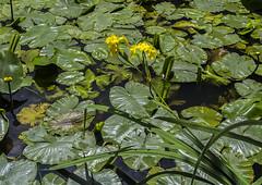 Flag Iris and Yellow Waterlilies (2geephotography) Tags: nationaltrust yellowiris yellowwaterlily baddesleyclinton canon5dmkiii zeissotus55mmf14apodistagonlens 2geephotography