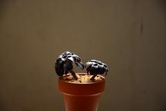 / Aeonium arboreum (noidcanuse2011) Tags: plant nikon nikkor succulents aeoniumarboreum