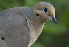 8104HOMEb (preacher43) Tags: birds illinois mourning song dove geneseo henrycounty