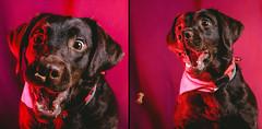 Connie (Tomas.Kral) Tags: dog pet studio crazy labrador catching fujifilm strobe speedlite yn560ii x100s