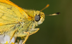 Small Skipper (Danny Gibson) Tags: macro butterfly insect small skipper butterflies insects macrophotography smallskipper insectmacrophotography insectphotography fritilliary macroinsectphotography dgpixorguk