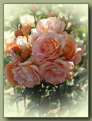 Rose in apricot ... (Kindergartenkinder) Tags: rose rosengarten seppenrade kindergartenkinder