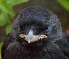 2014_06_0924 (petermit2) Tags: chick crow pottericcarr doncaster jackdaw yorkshirewildlifetrust ywt