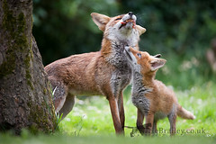 Feed Me! (LawrieBrailey) Tags: red wild urban food baby female photography cub photo nikon wildlife canine 300mm fox begging d3 vixen f40 lawrie brailey vulped