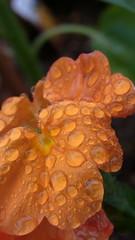 Orange (nofrills) Tags: orange flower water rain waterdrop waterdrops colorsorange