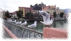 gabbiani sulla ringhiera (mareblu2013) Tags: riviera italia cityscape liguria fiume uccelli gabbiani ventimiglia volatili pennuti