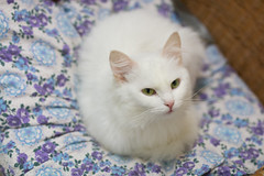 Update: two Humans interested in taking kitty in. [Explored ] (Fardo.D) Tags: life cats white green beautiful cat hair death this mix eyes long sweet almond save row help shelter adopt perian