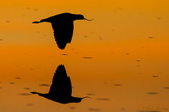 Caití | Precurvirostra andina (Chris Momberg) Tags: chile chris sunset naturaleza alex nature birds fauna de atardecer photography fly al nikon san fine arts christopher pedro ave reflejo atacama mano desierto hd laguna pajaro nikkor 500mm salar f4 fotografo vuelo chilena caiti andina pumarino alzada fncl momberg d7000 chaxas chmomberg precurvirostra