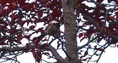 P8018318 plum tree 20130801 (caligula1995) Tags: morning chickadee plumtree balconygarden 2013