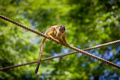 Squirrel Monkey (Rutger Blom) Tags: animal monkey rope climbing balance apenheul squirrelmonkey 200mm saimiri ef70200mmf4lusm canoneos5dmarkii ddskalleapa ekorrapa