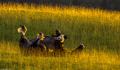 Horse feathers. (AlbOst) Tags: sunset summer horses sunlight playing fun feathers grasses rolling lowsun horsefeathers sigma150500