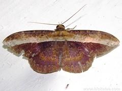 Geometer Moth - Family Geometridae - NMW 26 July 2014-414 (Dis da fi we) Tags: belize geometermoth geometridae moth mothweek nationalmothweek nature puntagorda toledo wildlife cottages hickatee