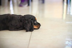Lola (K∆T∆N∆ MX) Tags: dog pet baby canon puppy eos lola eosrebel eosdigital ef50mmf18 canon600d ktaana canont3i