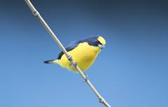 Colombia (richard.mcmanus.) Tags: colombia southamerica santander rainforest bird animal richardmcmanus wildlife thickbilledeuphonia