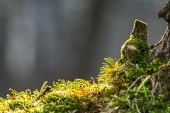 Sunset in moss-land :-) (.: mike | MKvip Beauty :.) Tags: sony⍺6300 sonyilce6300 sonyalpha6300 sonyalpha sony alpha emount ⍺6300 ilce6300 canonef300mmƒ4lisusm ef300mmf4lisusm canon canonl 300mmƒ4l 300mmƒ4 is usm adapter metabonesefemounttsmart metabonestmarkiv metabones markiv canonefe afadapter eftoemount efnex primelens prime manualexposure manual handheld availablelight naturallight backlight backlighting sunset sunsetlight goldenhour shallowdof bokeh bokehlicious beyondbokeh extremebokeh smoothbokeh closeup dreamy soft zen nature green orange yellow moss spring wörthamrhein germany europe mth mkvip metabonesefemounttsmartadaptermarkiv ngc npc