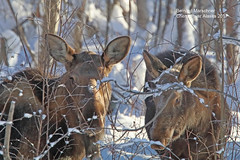 Mom I think he still sees us_IMG_1020 (bud_marschner) Tags: moose moosecalf chenariver alaska