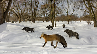 Le renard et les sangliers / The fox and the Wild boars