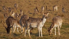 Fallow Deer, Attingham Park (David_W_1971) Tags: mammalsdeer nt2017