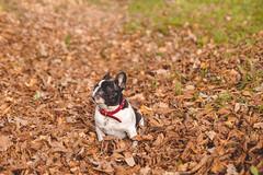 IMG_3149 (Anastasia Neto) Tags: dog dogphotography dogs dogmodel dogphotographer puppies puppy cutepuppies cutepuppy funnydog funnydogs petmodel petphotography pet pets petphotographer frenchie frenchies frenchbulldog frenchbulldogs bulldog bulldogs