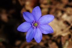 so blue (Hugo von Schreck) Tags: leberblümchen hepaticanobilis hugovonschreck neuhof bayern deutschland germany wildflower wildblume blume flower blüte macro makro canoneos5dsr tamron28300mmf3563divcpzda010