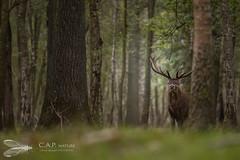 Je surveille mon territoire! - Forêt de Rambouillet (78) (Clément Alabergère- landscape architect) Tags: reddeer arbres cervuselaphus automne forêt cerfélaphe faune