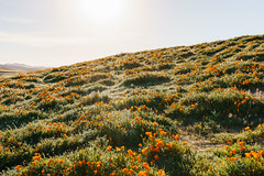 Antelope Valley California Poppy Reserve (Rich Road) Tags: antelopevalleycaliforniapoppyreserve antelopevalley poppyfield orangeflowers springflowers desertflowers