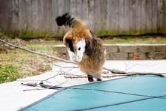 Jumpin (backbeatb00gie) Tags: d810 backyard branches cat elsie home jumping nikon outside snapshot spring littledoglaughedstories