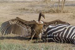 "The Winner!  -  ""Where do I start"" (Hector16) Tags: africa nomad safari outdoors tanzania ndutu drought wildlife serengeti arusharegion tz gypsrueppelli vulture ngc"