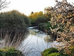 Soar air full of flyers 8.4.17 (Tim J Clarke) Tags: soar spring river barrowuponsoar landscape evening flies knats em1 blossom